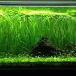 planta para principiantes de acuario