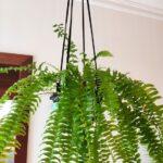 Plantas para refrescar tu hogar este verano: Helecho de Boston