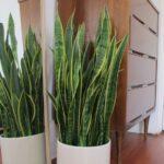 Sansevieria para refrescar tu casa